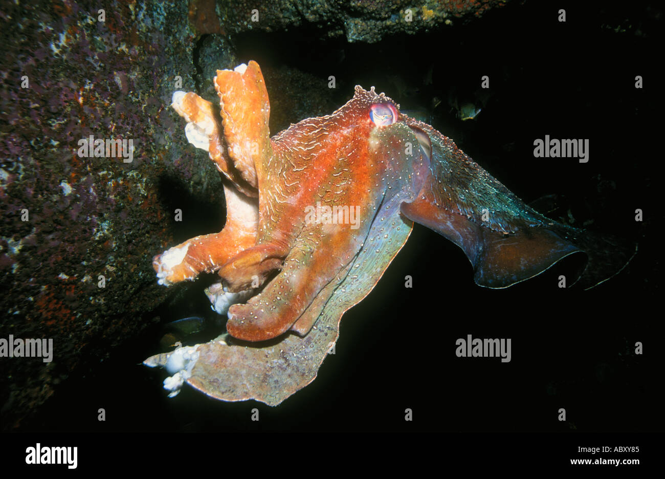 Giant Australian Cuttlefish, Sepia apama with damaged tentacles caused by mating combat Stock Photo