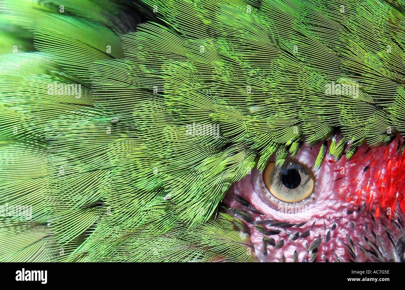 Green Parrots eye very close