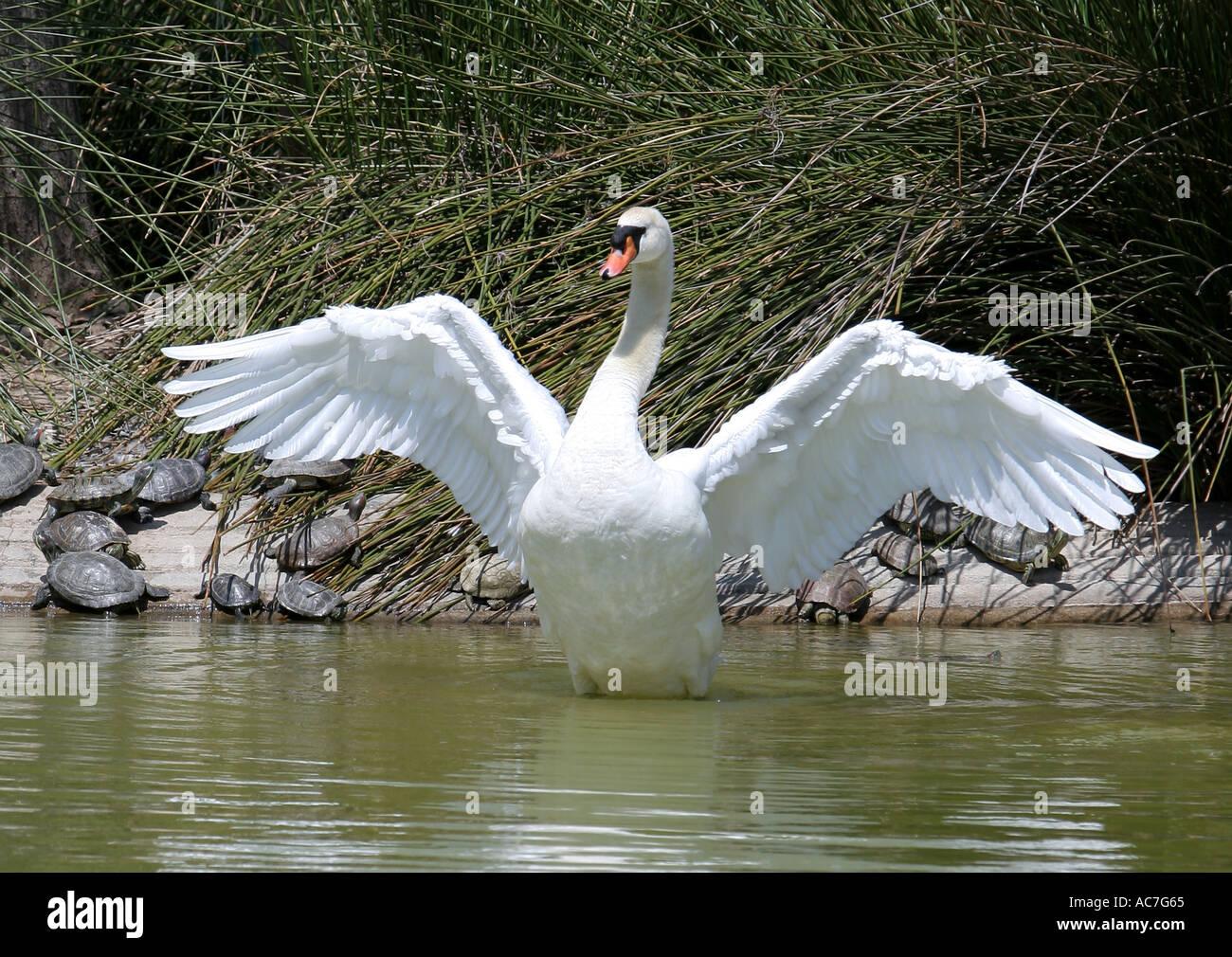 Swan Stretching