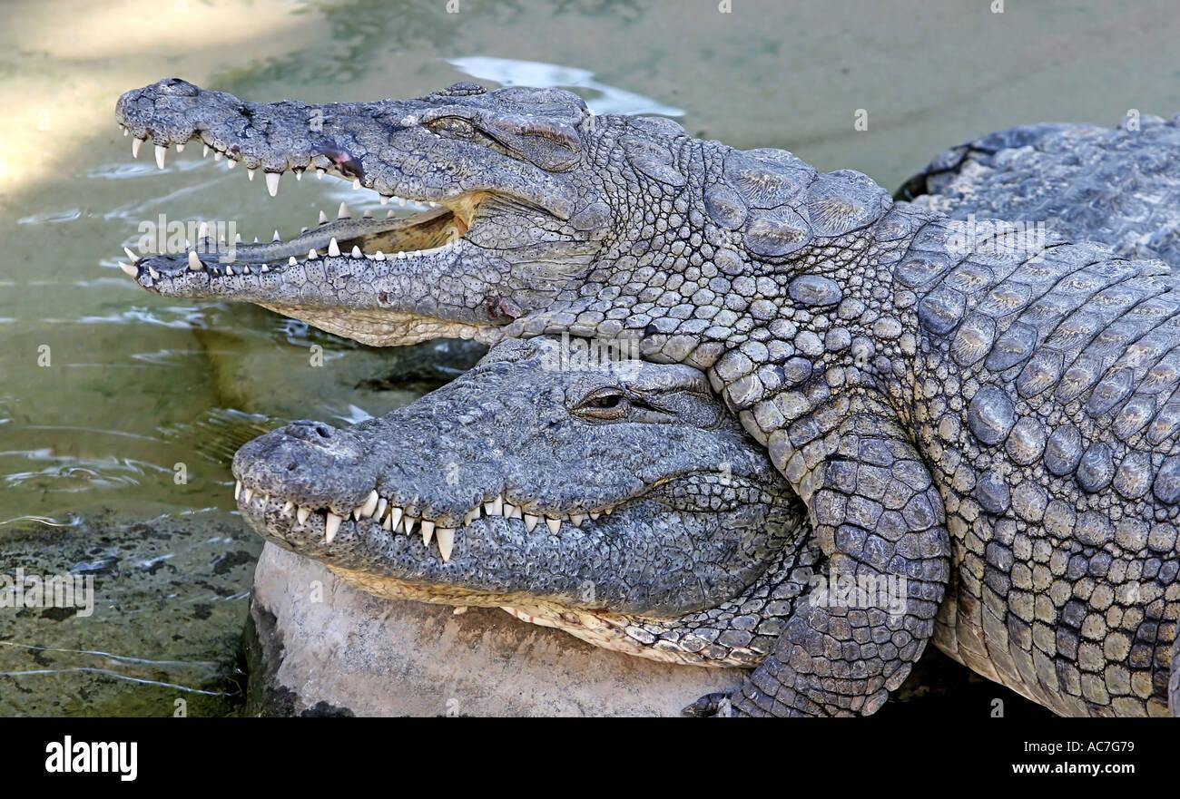 2 Crocodiles playing