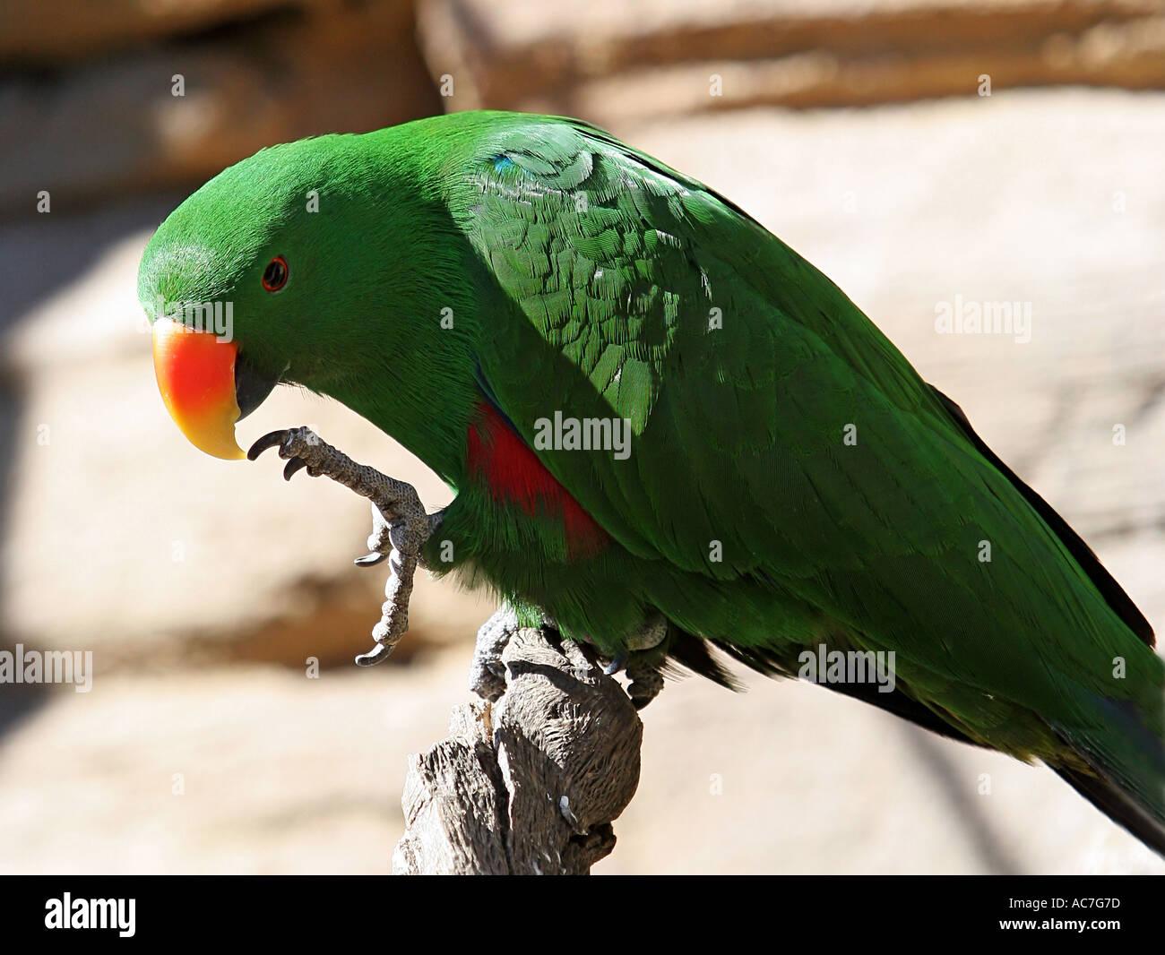Green Parrot cleaning beak