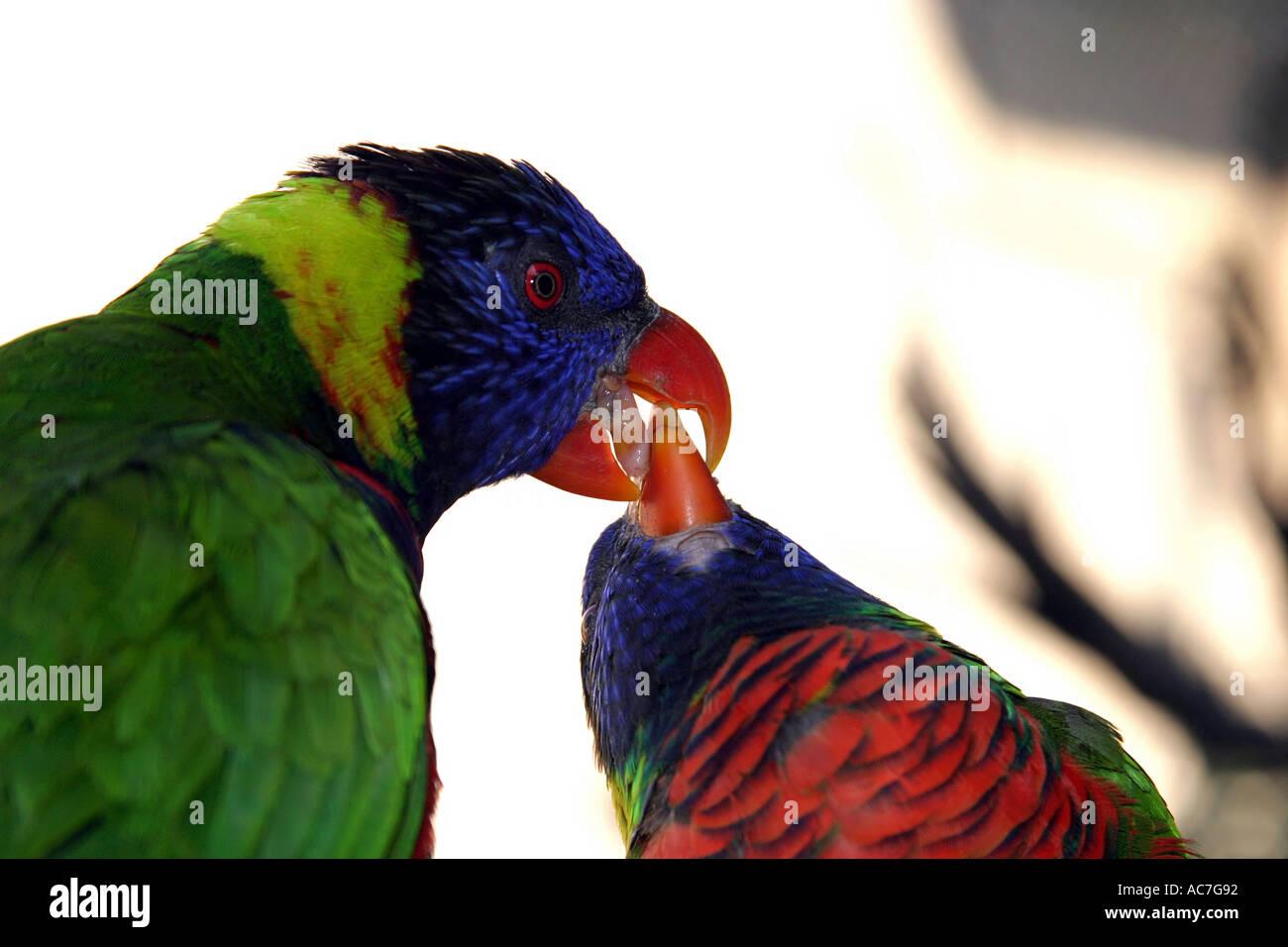 Parrots feeding each other