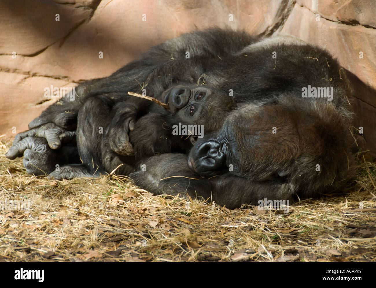 mother-and-baby-western-lowland-gorilla-
