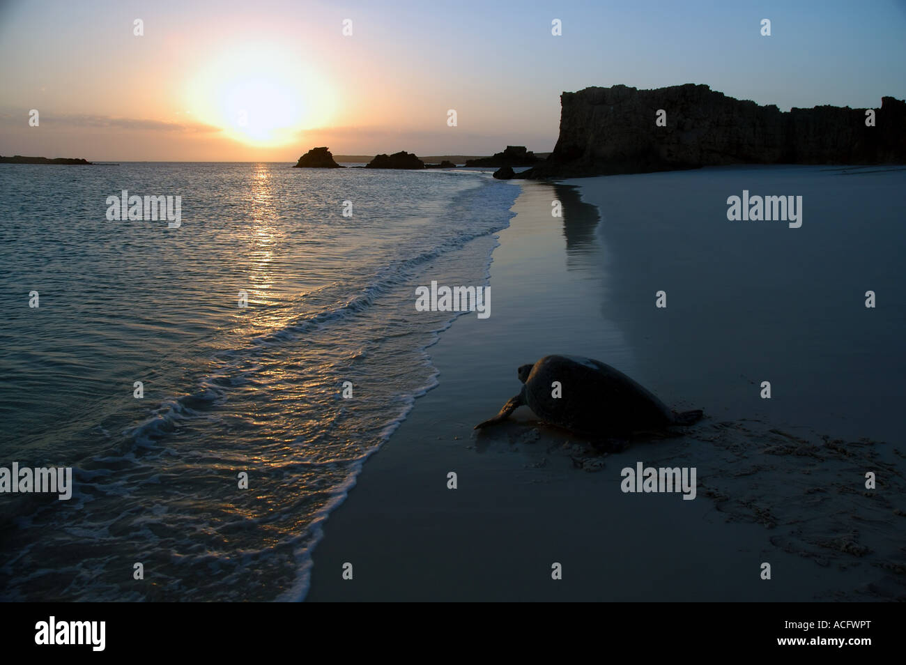 Green sea turtle Chelonia mydas returning to the ocean at sunrise, Montebello Islands, Pilbara, Western Australia Stock Photo