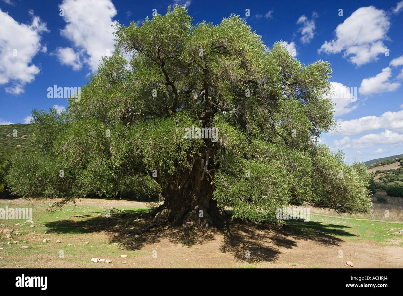 Three thousand years old Olive Tree, Olivastri millenari, Sardinia, Italy - Stock Image