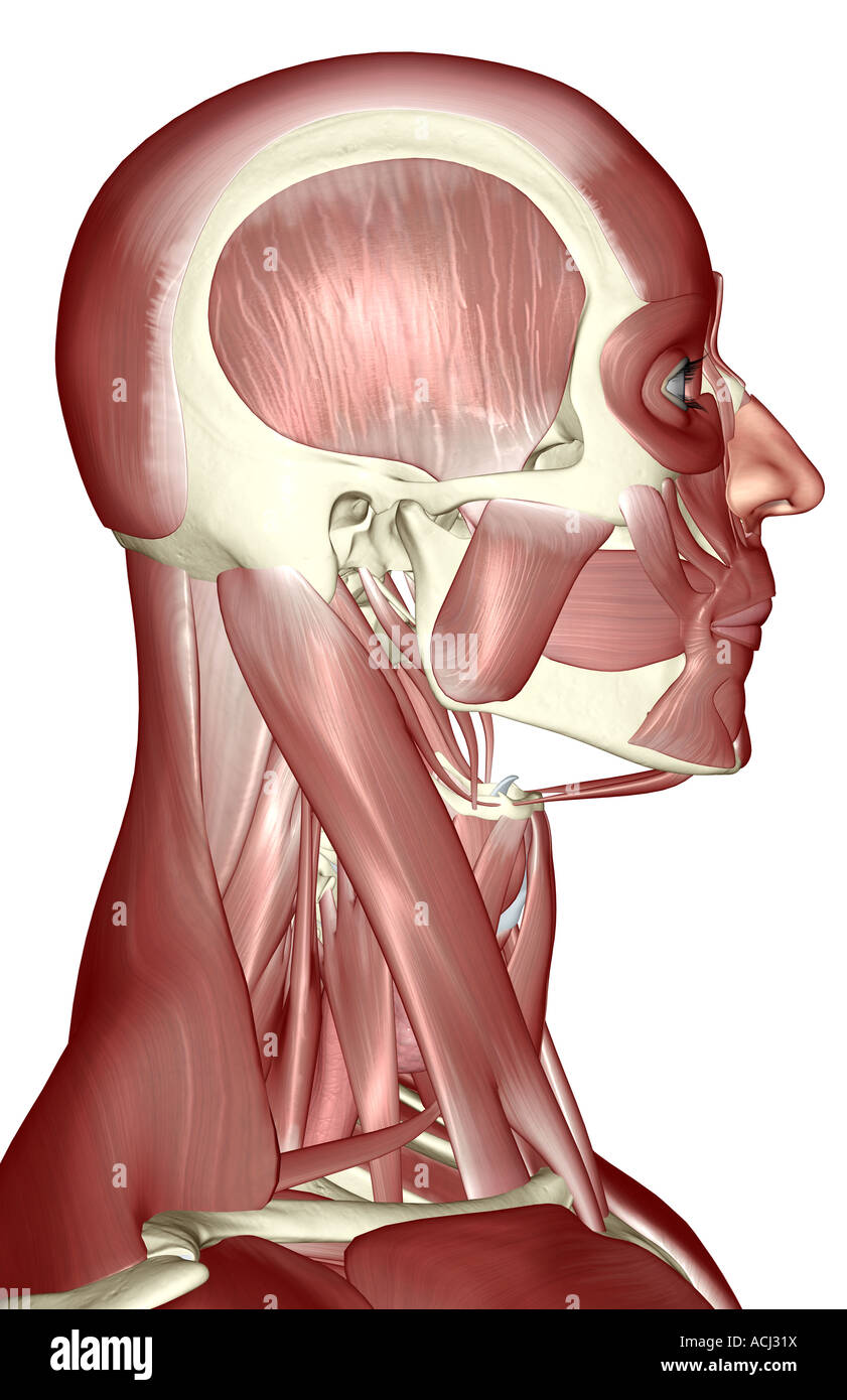 The Muscles Of The Head Neck And Face Stock Photo 13165957 Alamy