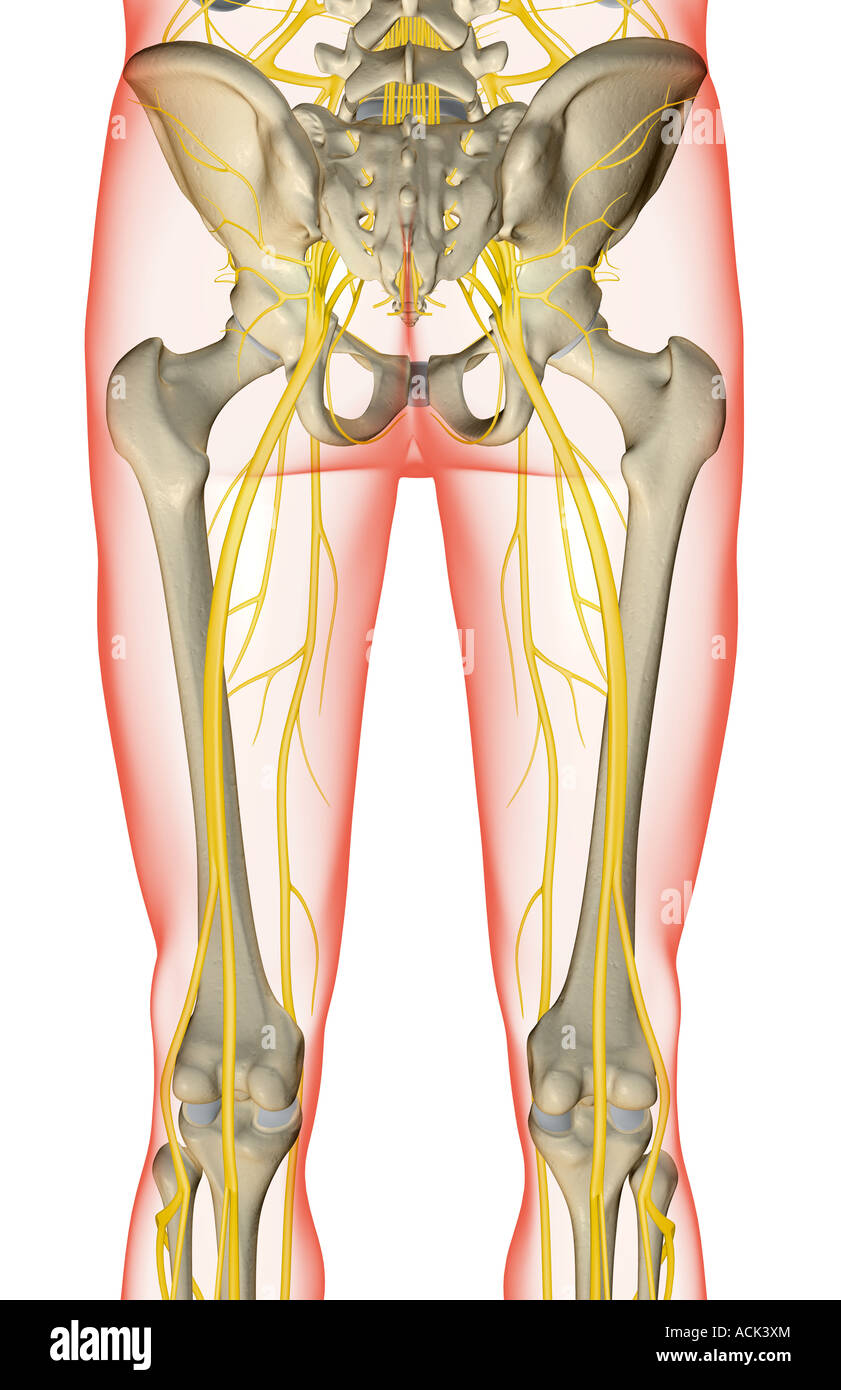 The Nerves Of The Lower Limb Stock Photo 13175659 Alamy