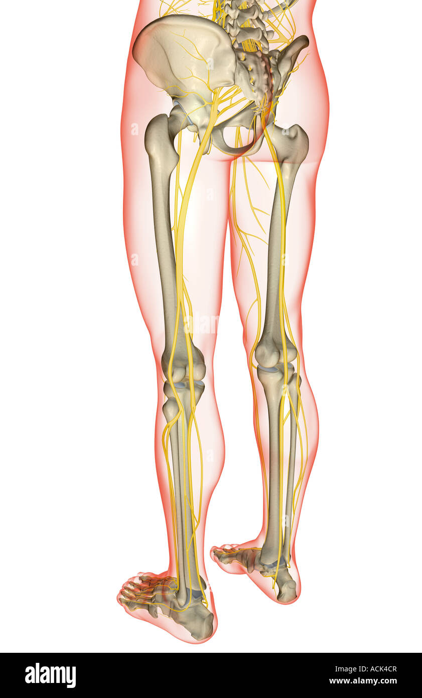 The Nerves Of The Lower Body Stock Photo 13175830 Alamy