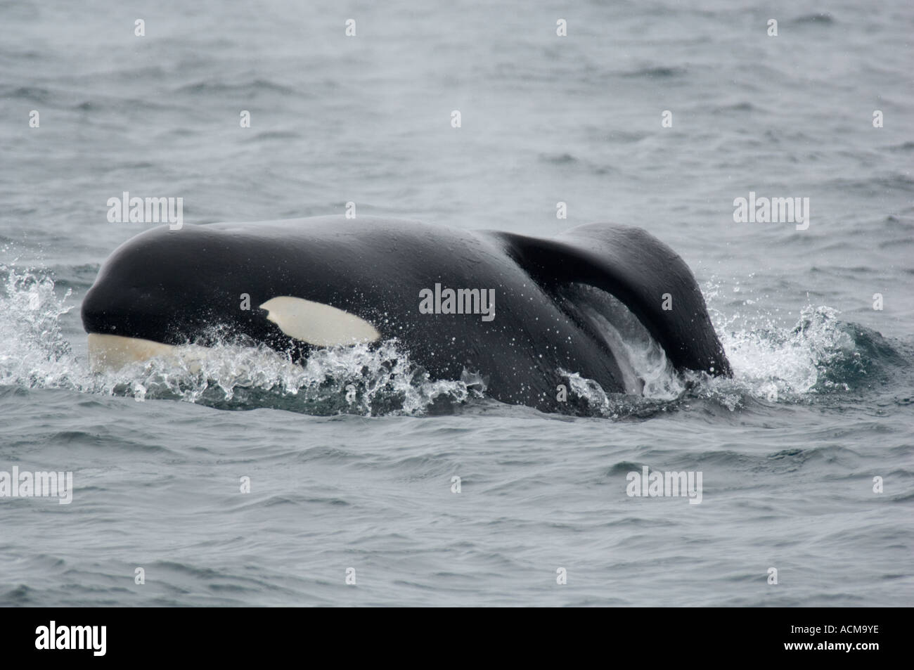Killer Whale (Orcinus orca) Monterey Bay, California, Wild male with collapsed dorsal fin Stock Photo