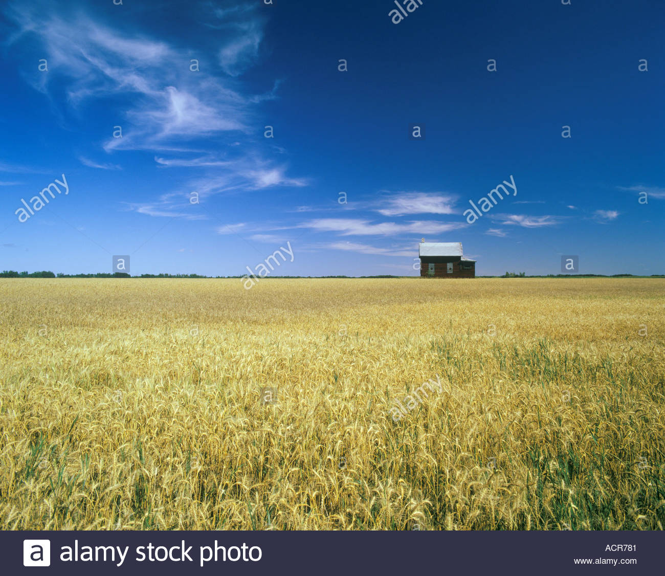 durum-wheat-in-front-of-old-farmhouse-no