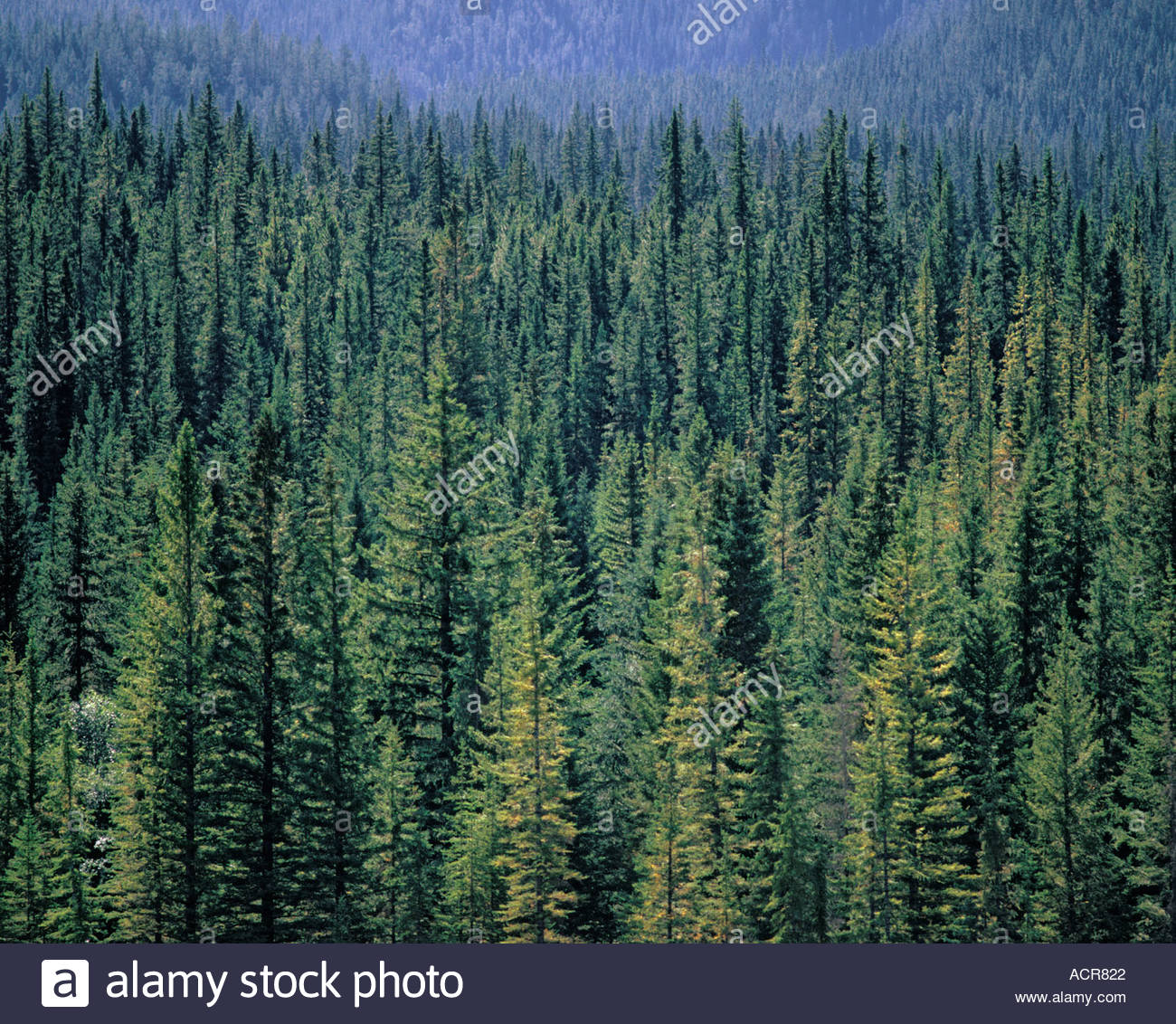 coniferous-alpine-forest-in-banff-nation