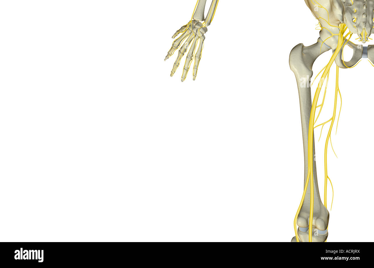 The Nerves Of The Thigh Stock Photo 13218301 Alamy