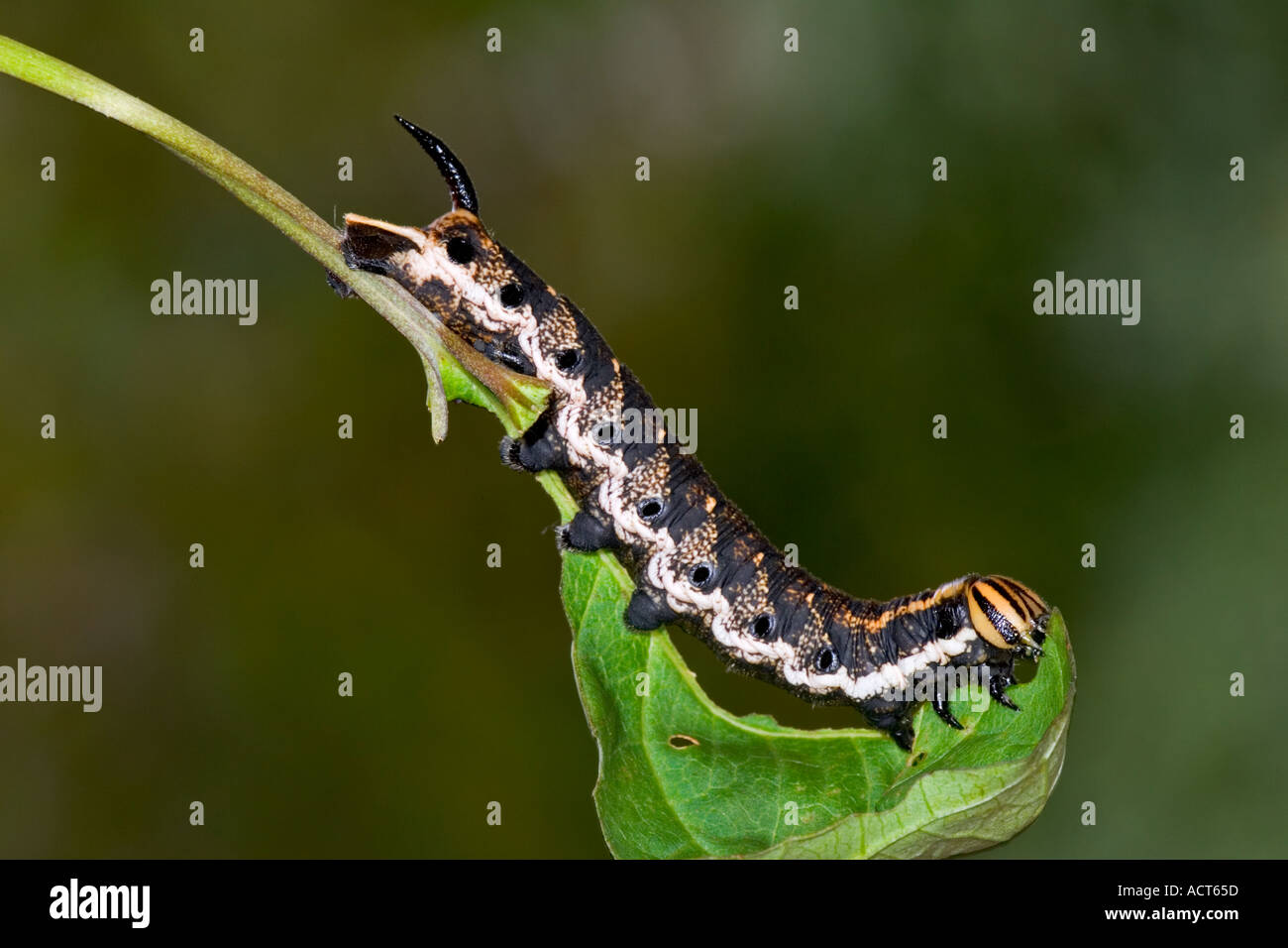 Convolvulus Hawk moth Agrius convolvuli Larvae feeding with nice defuse background potton bedfordshire - Stock Image