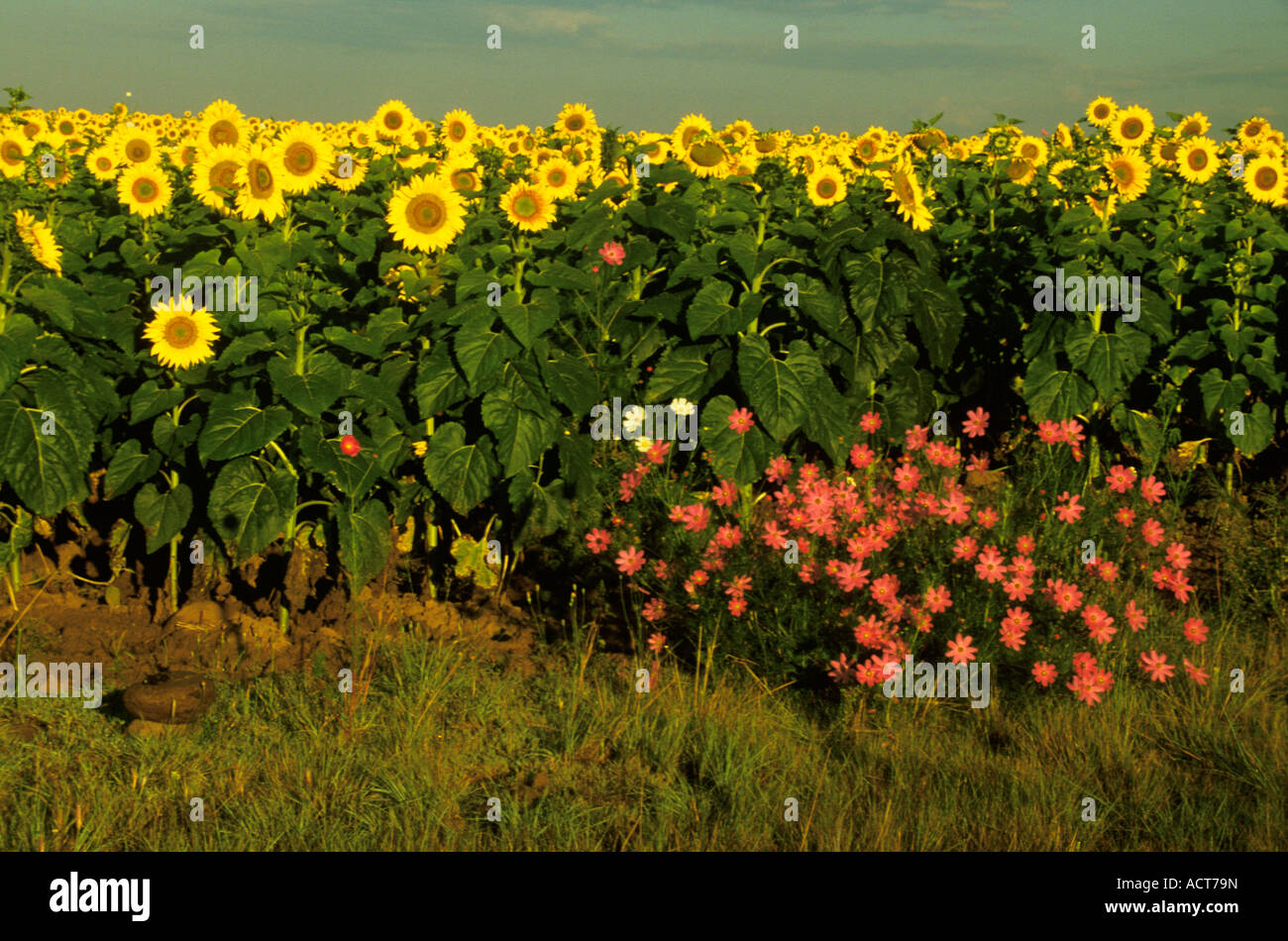 Field Of Sunflowers With Clump Of Pink Flowers In The Foreground