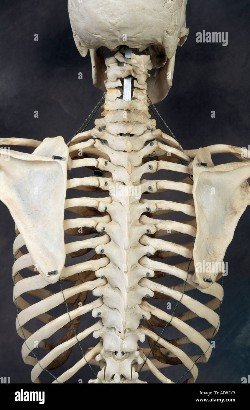 Human Skeleton Back Stock Photo 7620146 Alamy