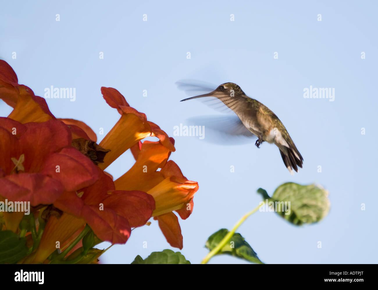 female-ruby-throated-hummingbird-archilo