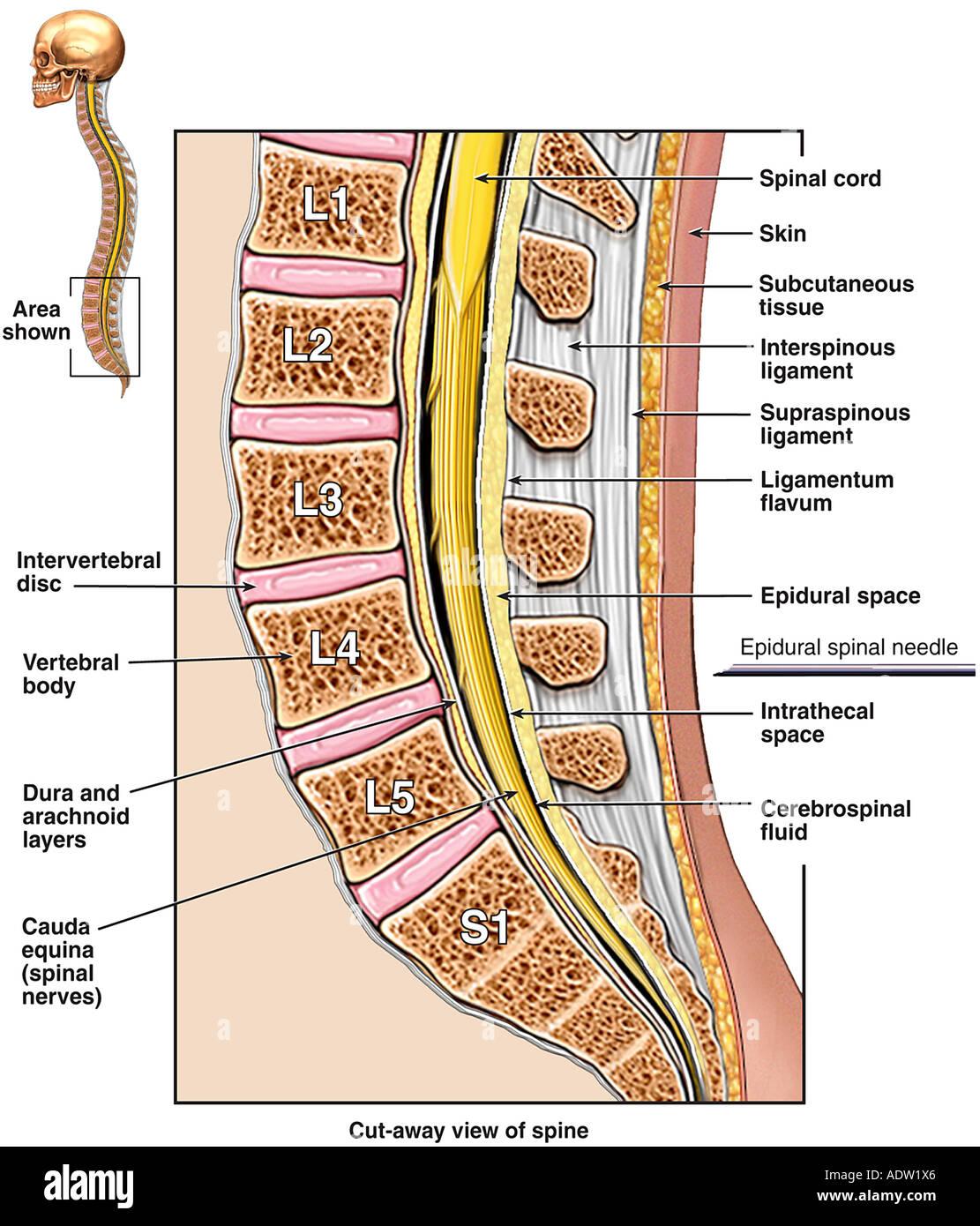 Niedlich Spinal Tap Anatomy Zeitgenössisch - Menschliche Anatomie ...