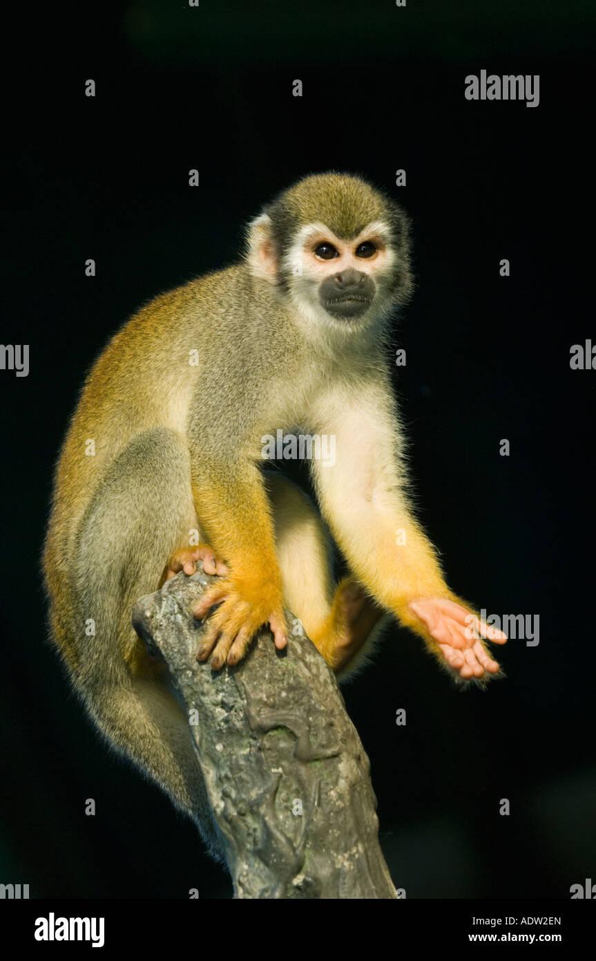 Squirrel Monkey (Saimiri sciureus) Amazonian Brazil, Rio Negro, WILD - Stock Image