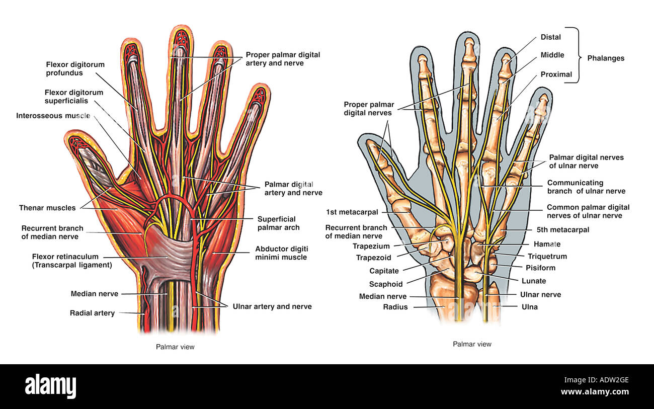Anatomy of the Hand - Palmar View Stock Photo: 7711373 - Alamy