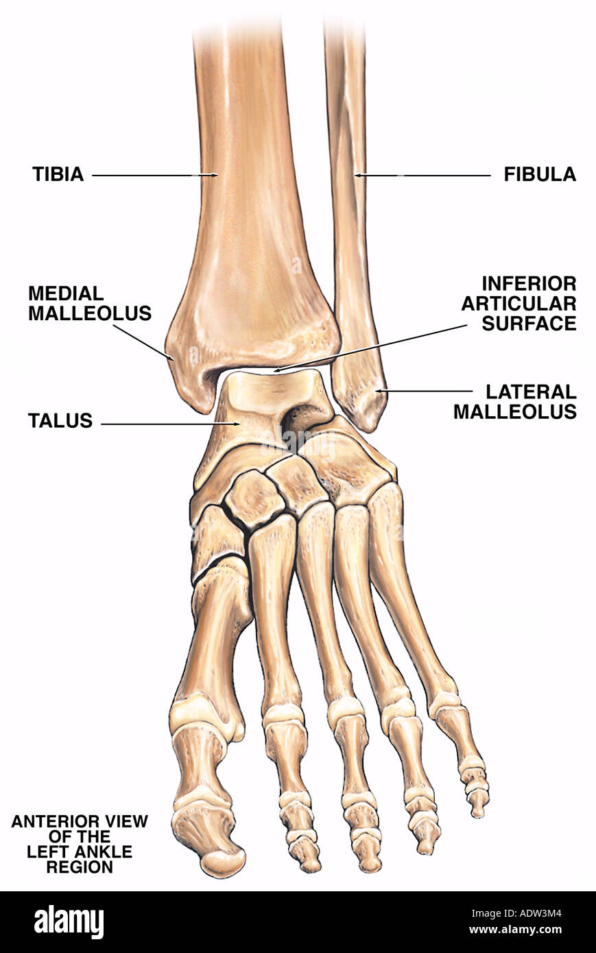 Normal Anatomy of the Left Ankle Region Stock Photo: 7711619 - Alamy