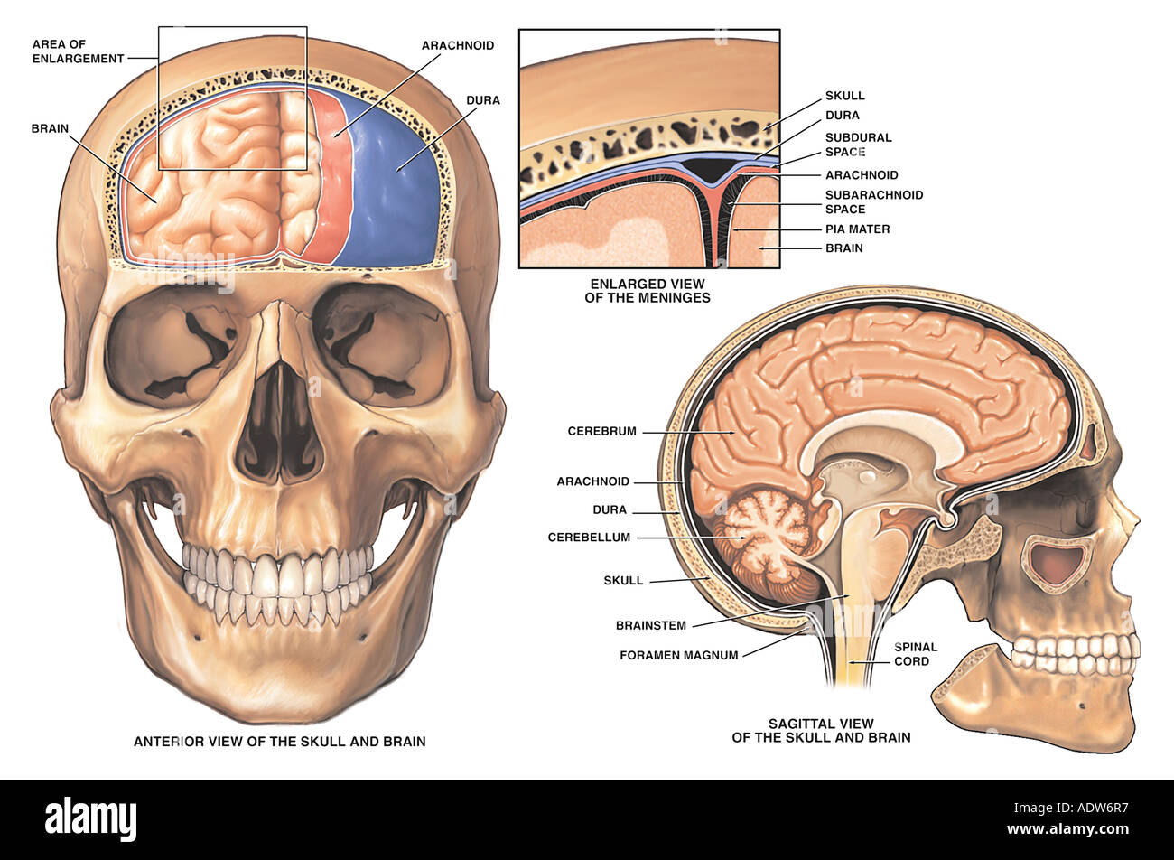 For showing brain diagrams with labels meninges complete wiring anatomy of the brain and meninges stock photo 7712246 alamy rh alamy com brain diagram hindbrain ccuart Choice Image