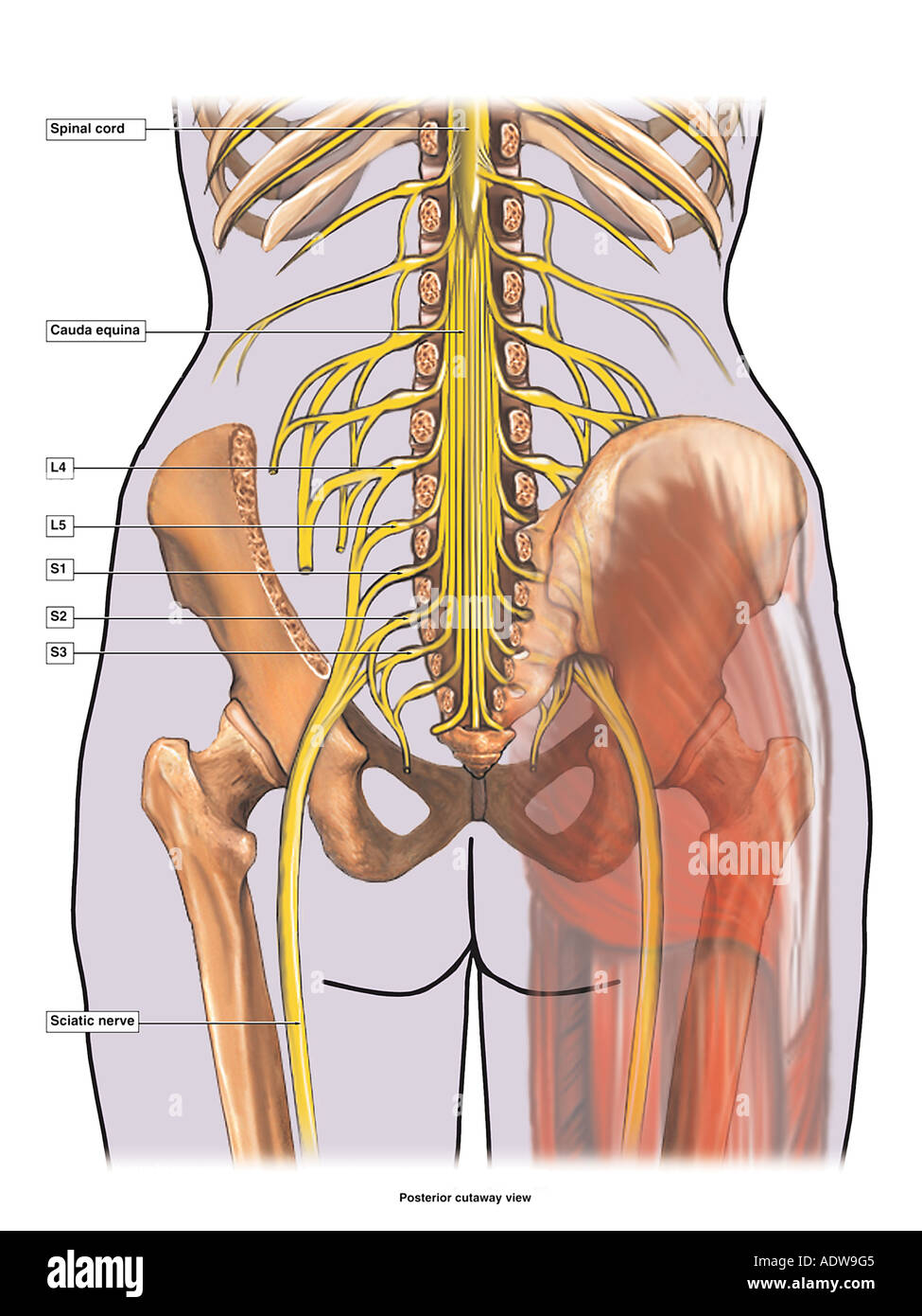 Anatomy of the Sciatic Nerve Stock Photo: 7712708 - Alamy