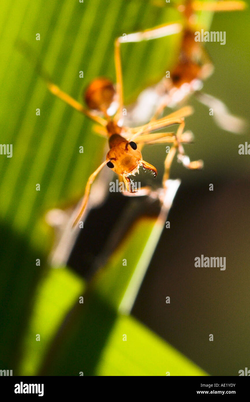 An ant perched on a green leaf. - Stock Image