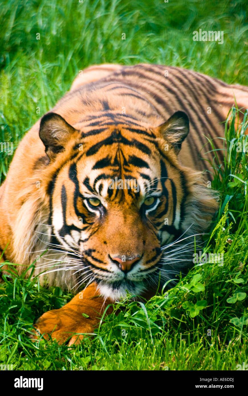 Sumatran Tiger Portrait - Stock Image