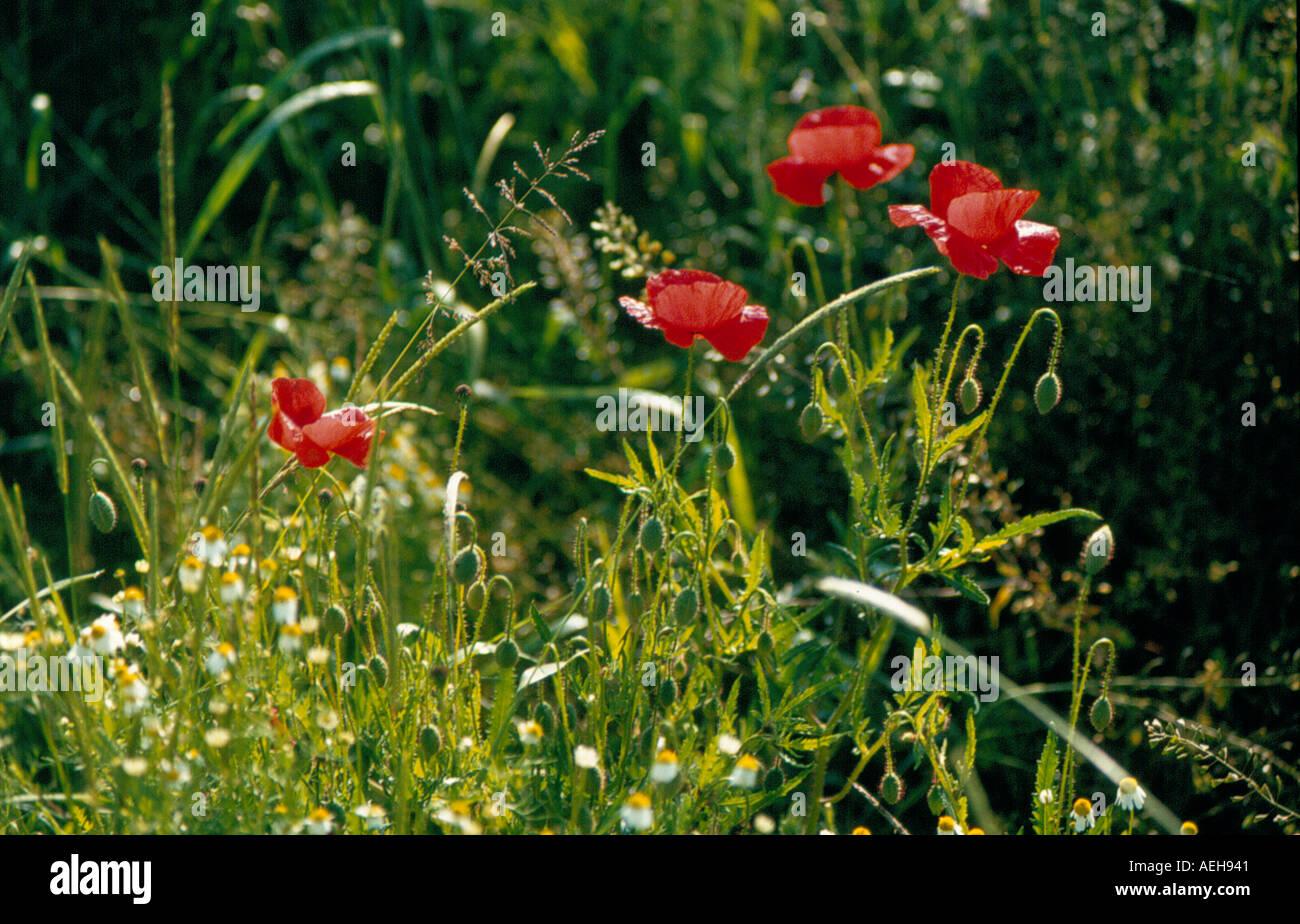 poppy. Photo by Willy Matheisl - Stock Image
