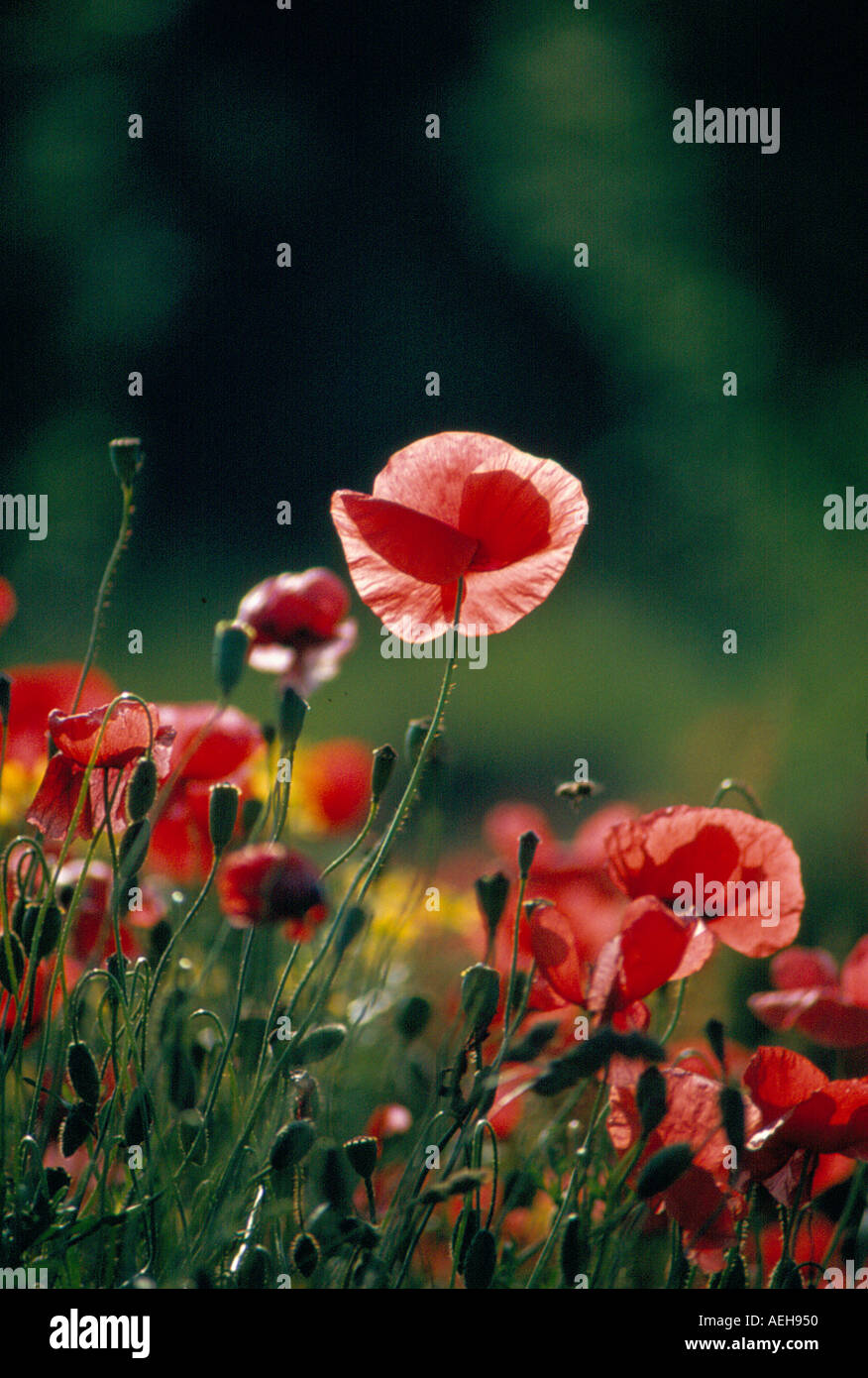 poppies. Photo by Willy Matheisl - Stock Image