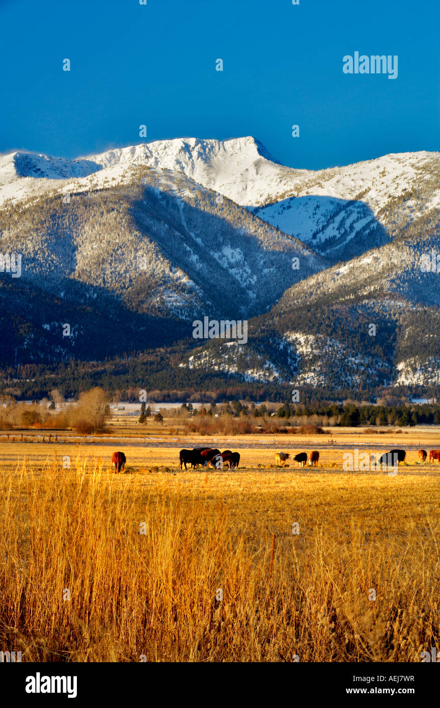 Elkhorn Range in with snow and cattle in pasture Blue Mountains Oregon - Stock Image