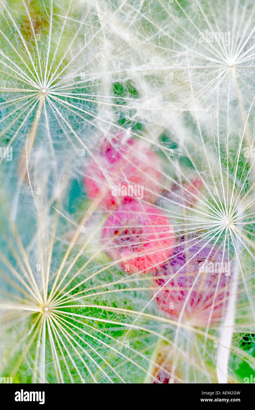 Seeds of Yellow Salsifye with Serviceberry berries Lake Tahoe California - Stock Image
