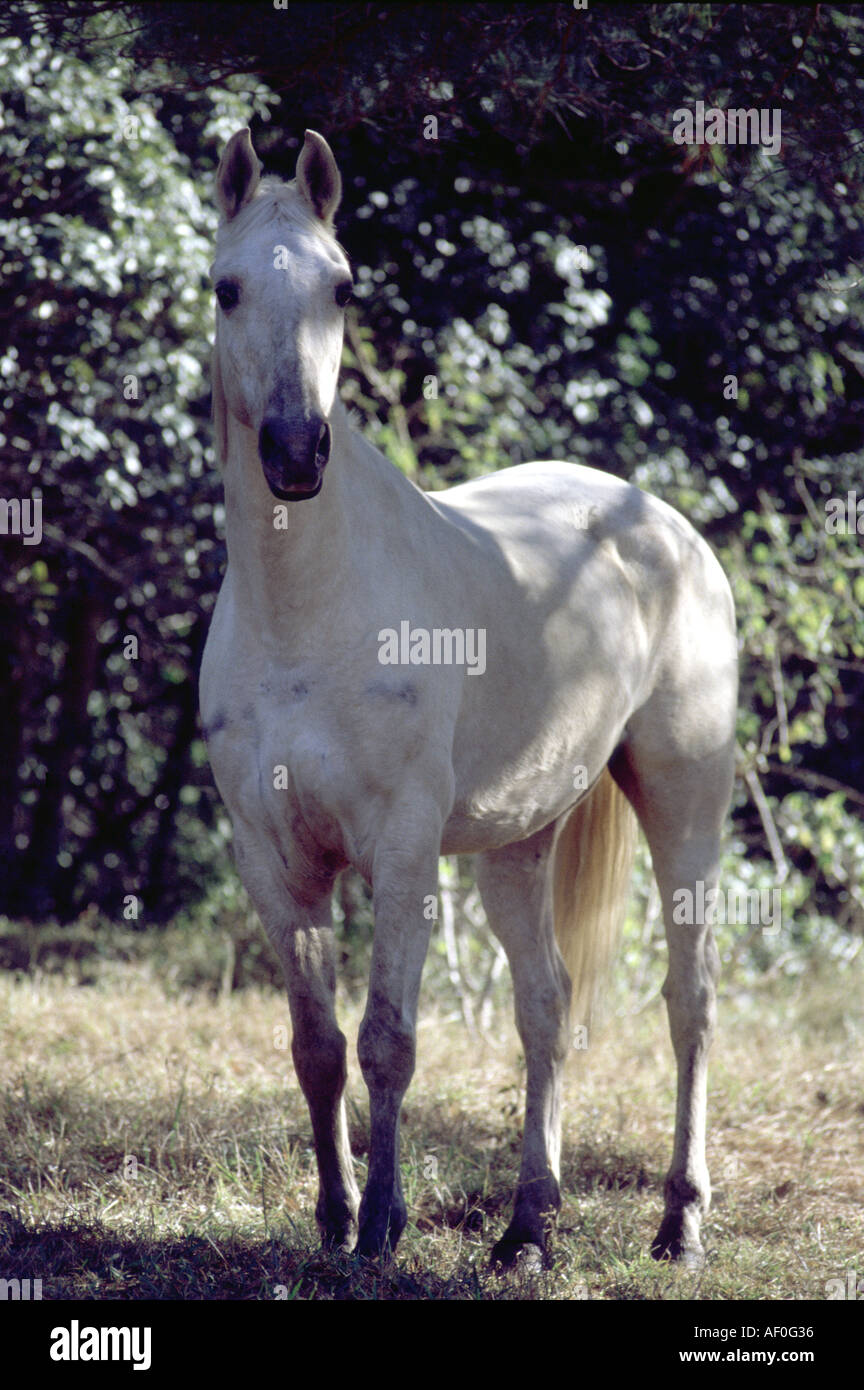White horse front view in field paddock stock photo 4501557 alamy white horse front view in field paddock sciox Choice Image