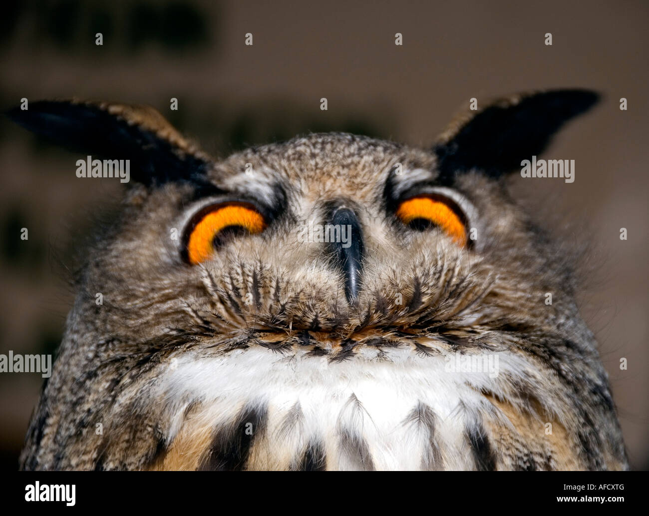 humorous-view-of-eurasian-eagle-owl-bubo