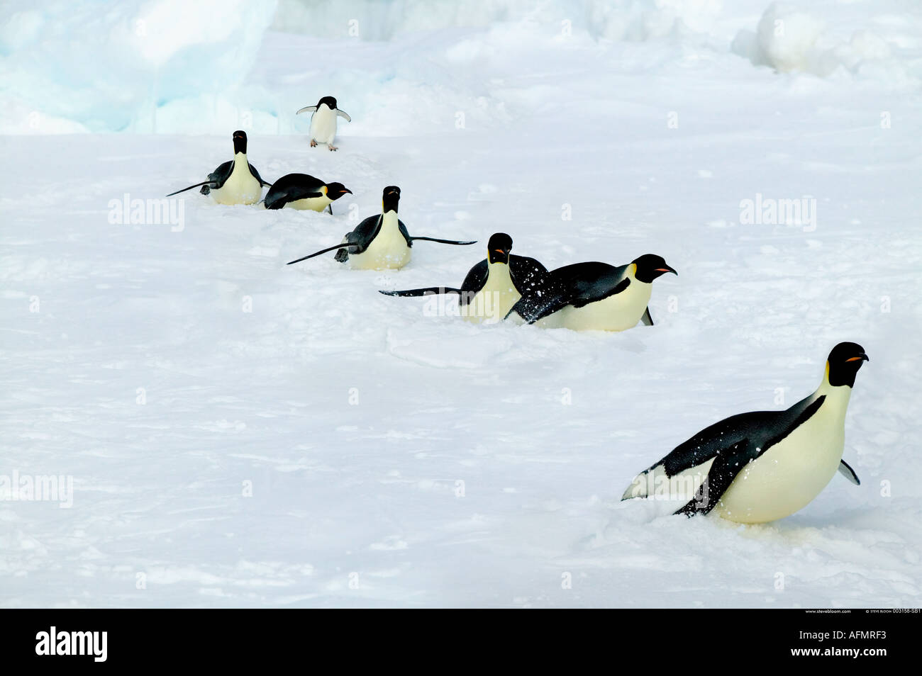 Adult Emperor penguins on a long trek Coulman Island Antarctica - Stock Image