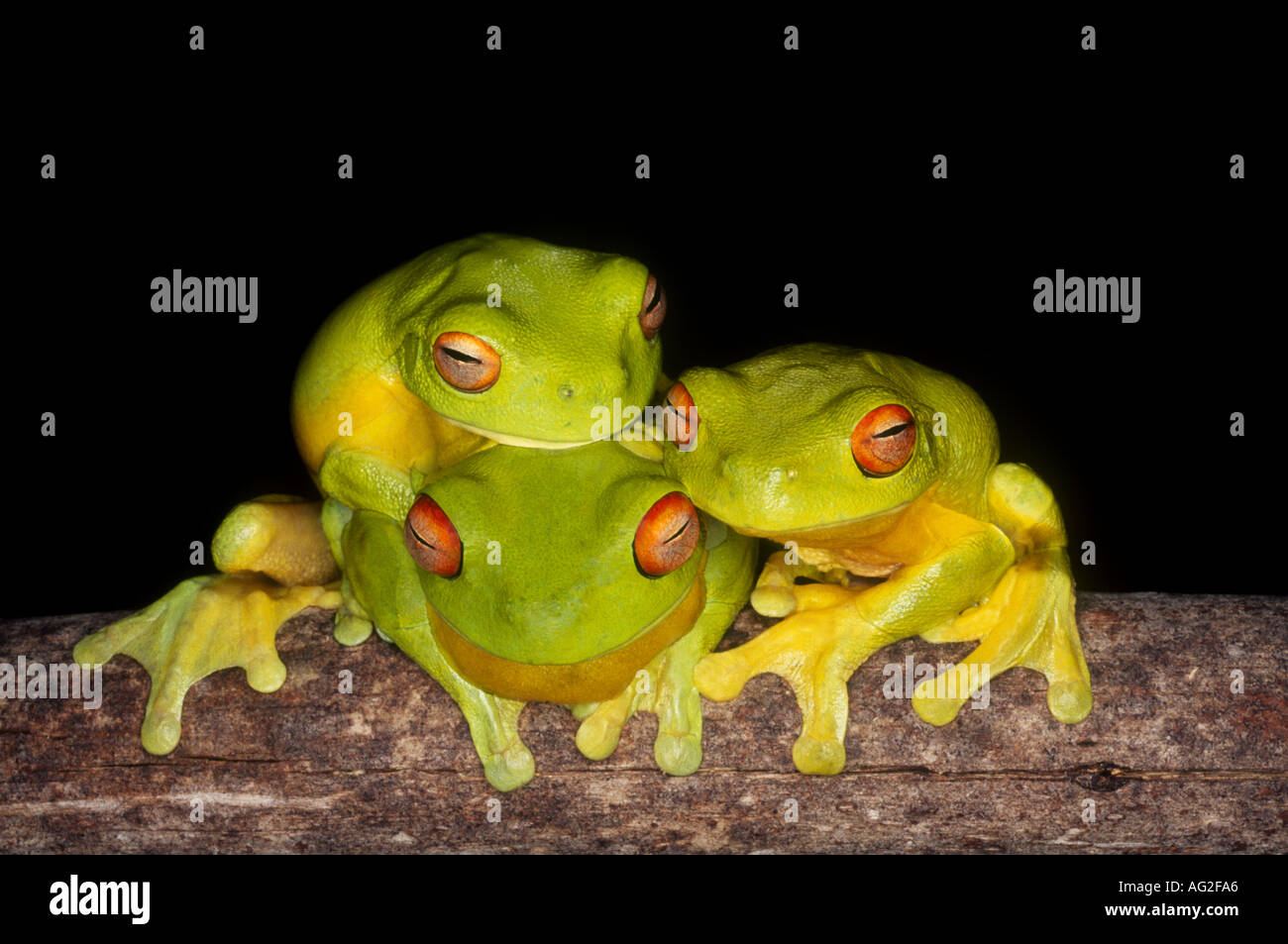 three-red-eyed-tree-frogs-litoria-chloris-a-group-together-at-night-AG2FA6.jpg