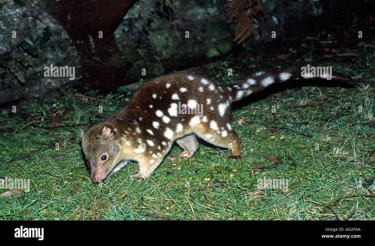 tiger-quoll-dasyurus-maculatus-is-a-carnivorous-marsupial-native-to-AG2FAA.jpg