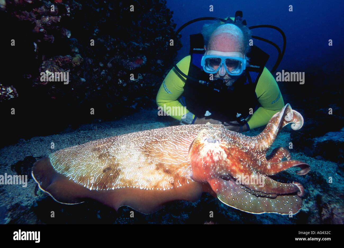 a-male-scuba-diver-watching-giant-australian-cuttlefish-sepia-apama-AG432C.jpg