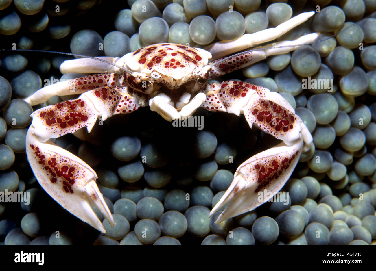 porcelain-crab-neopetrolisthes-maculatus-living-in-a-sea-anemone-also-AG4345.jpg