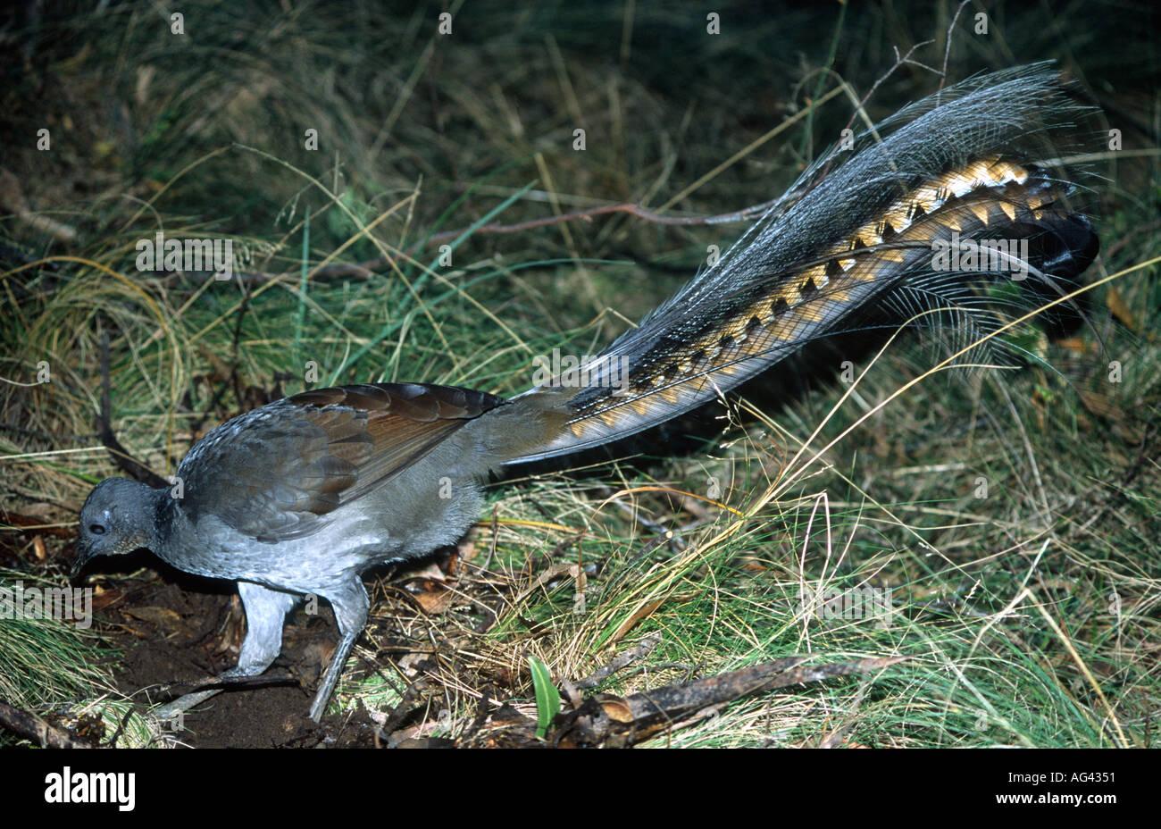 male-superb-lyrebird-menura-novaehollandiae-is-a-large-australian-AG4351.jpg