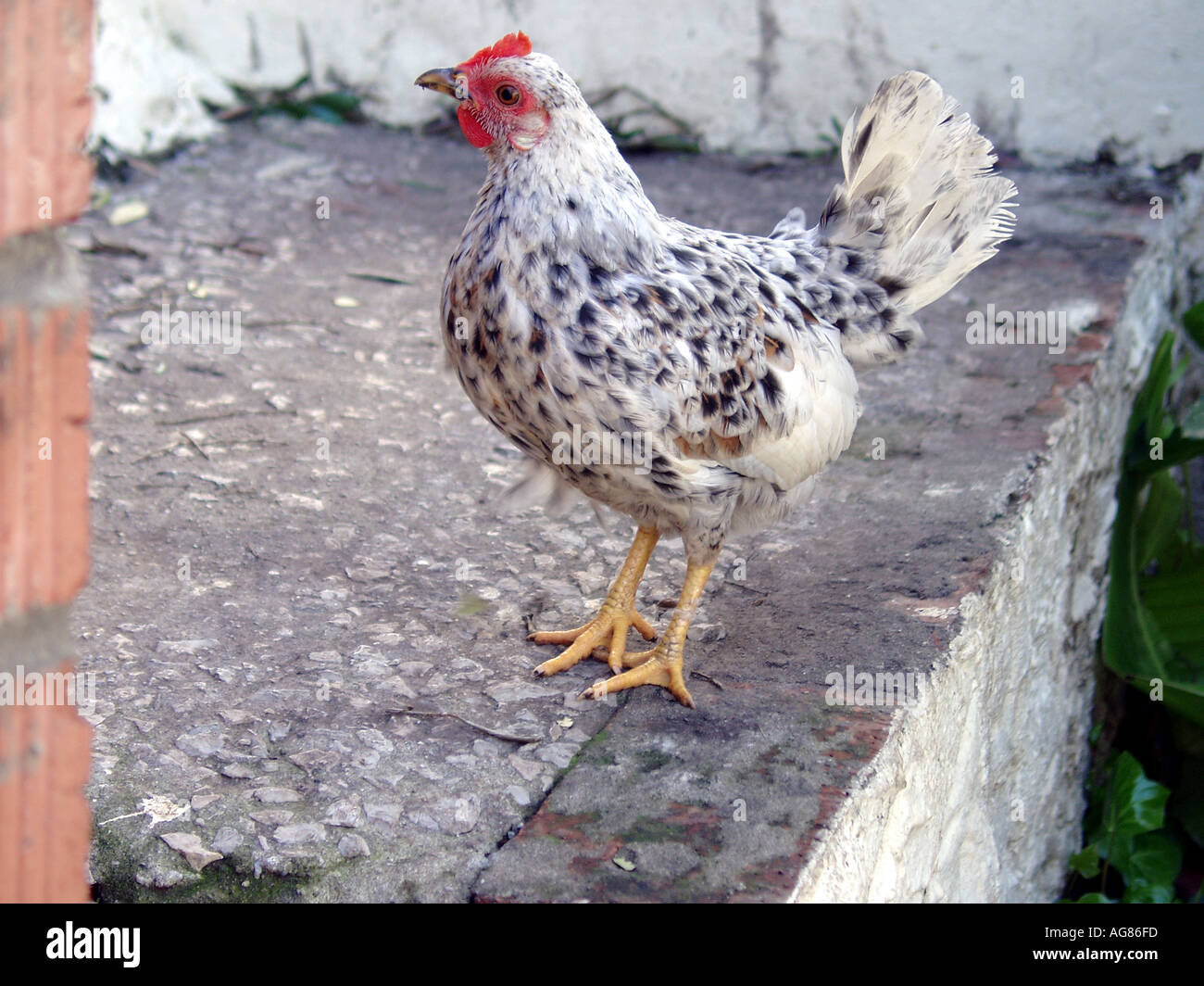 Domestic Poultry kept at the Upper Rock Nature Reserve Gibraltar - Stock Image