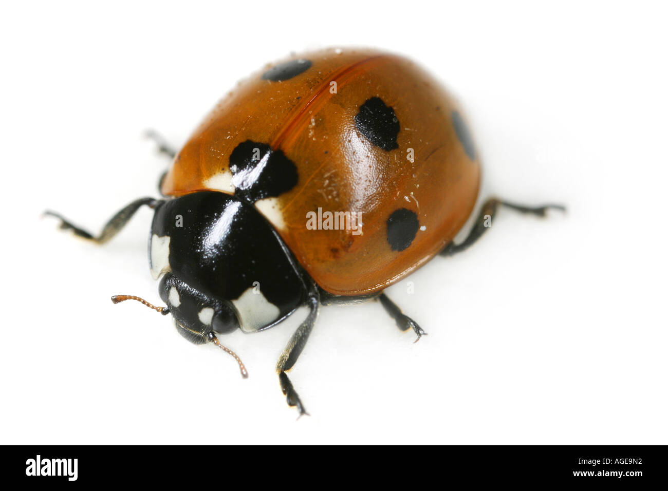 Close up of the Seven Spotted Ladybug, Coccinella septempunctata, on white background Stock Photo