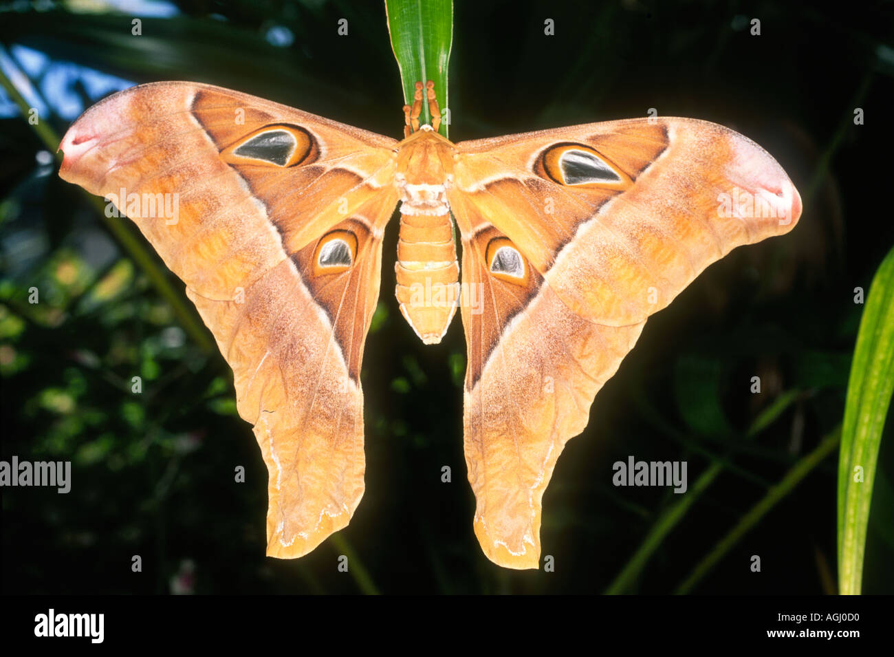 female-hercules-moth-coscinocera-hercules-is-the-largest-moth-in-australia-AGJ0D0.jpg