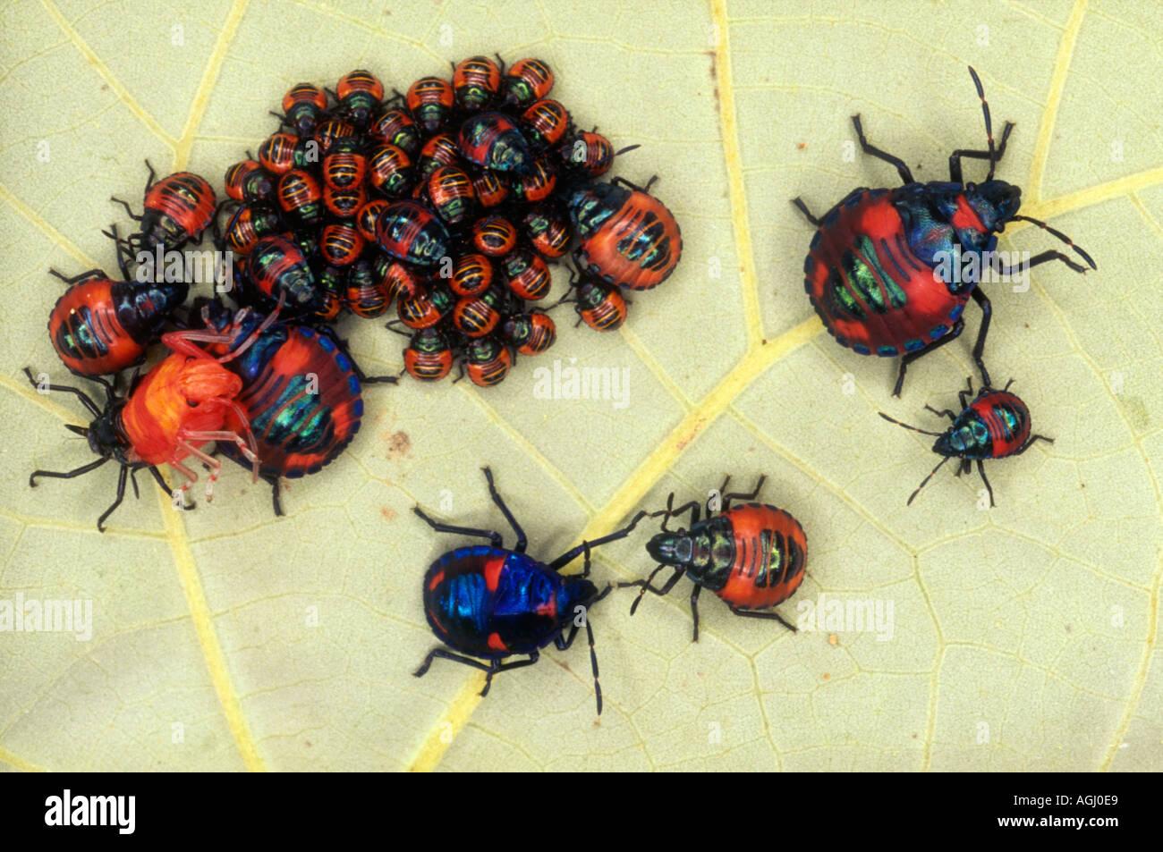 cotton-harlequin-bug-nymphstectocoris-diophthalmus-sheltering-under-AGJ0E9.jpg