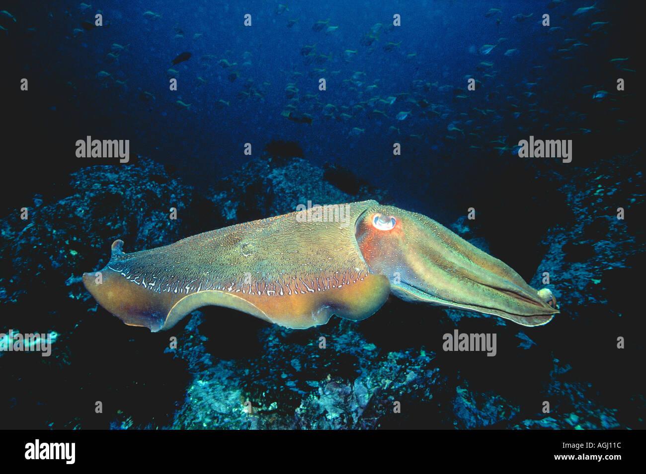 giant-australian-cuttlefish-sepia-apama-AGJ11C.jpg