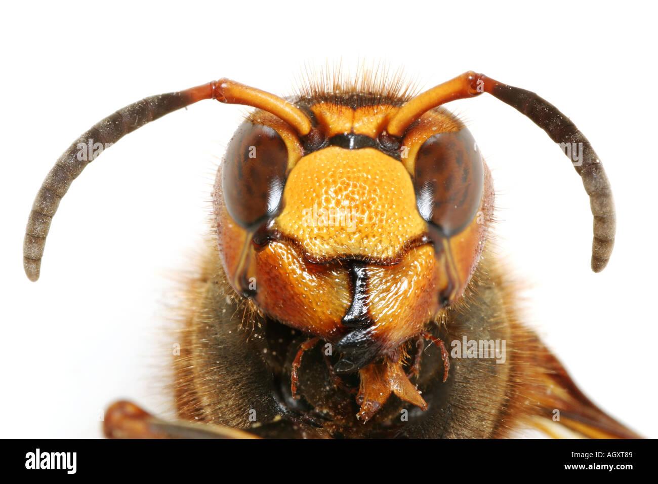 Head of a European Giant Hornet, Vespa Crabro Stock Photo