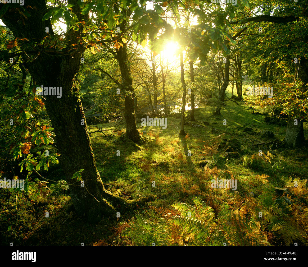 GB - WALES: Snowdonia National Forest - Stock Image