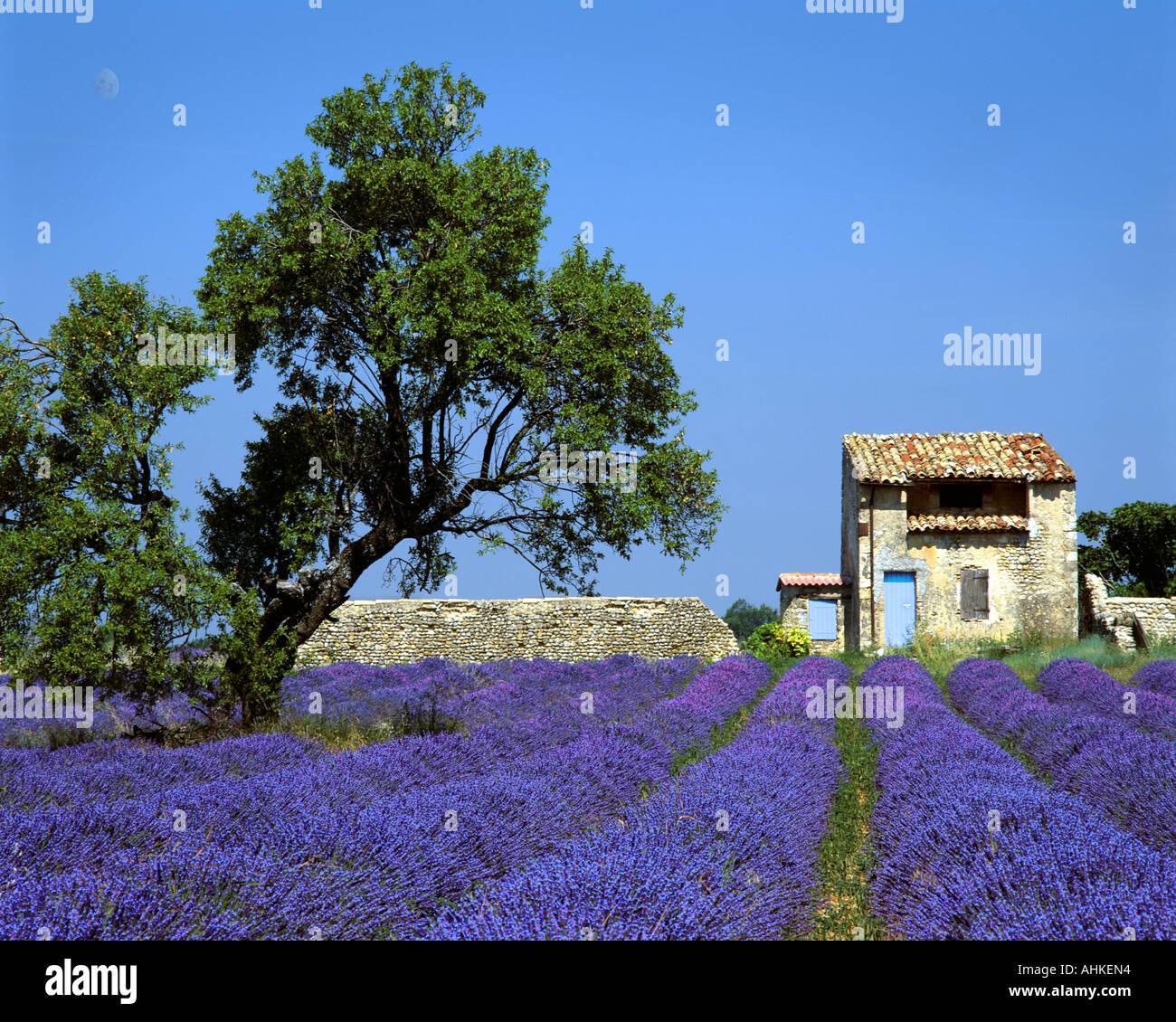 FR - ALPES-DE-HAUTE-PROVENCE:  Lavender Field on Plateau de Valensole near Puimoisson - Stock Image