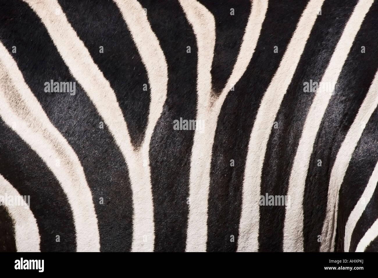 Close up of zebra fur - Stock Image