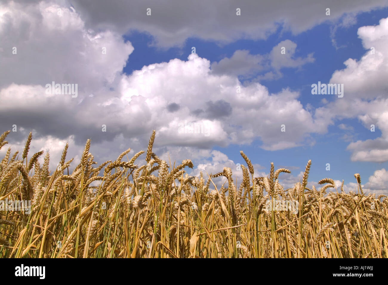 Wheat field under a blue cloudy sky - Stock Image